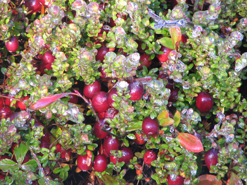 How Cranberries Grow Fall Frost Machusetts